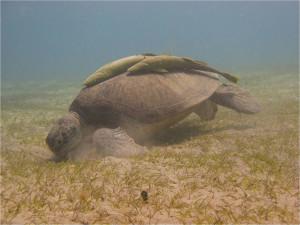 Черепаха с прилипалами на мелководье Абу-Даббаба