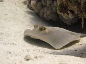 Морской скат  на рифах Забаргада
