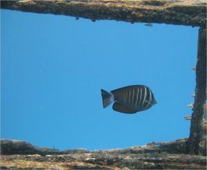 Вода, дерево, зебрасома  (zebrasoma veliferum)