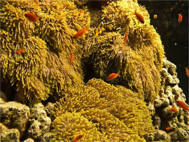 Поля актиний (entacmea quadricolor)