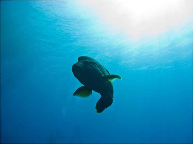 """Рыба-наполеон (cheilinus undulates) названная так из-за своей """"треуголки"""" весьма дружелюбна"""